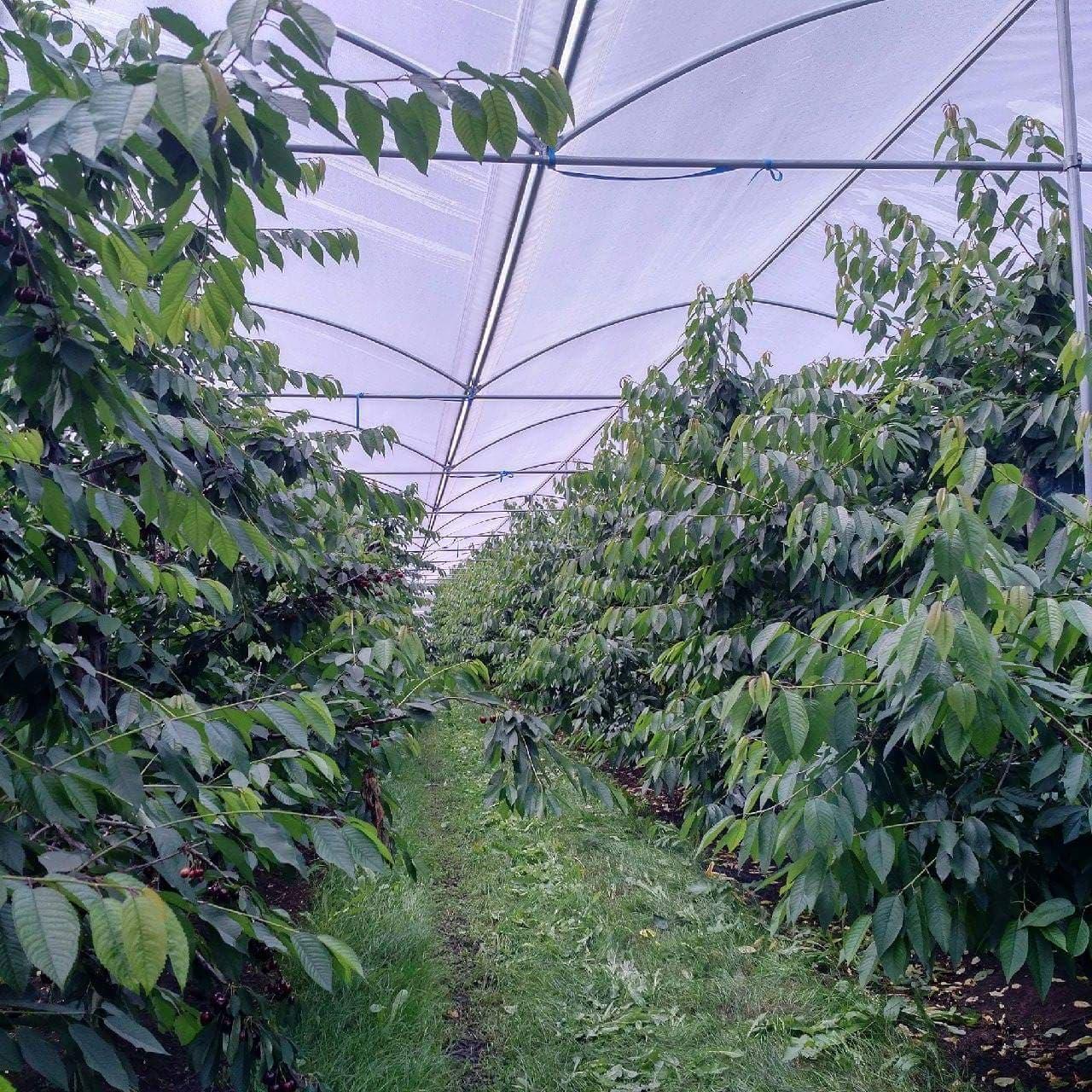 Tehnologie plantatie cires