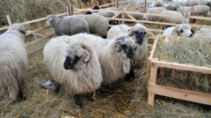 Ferma de ovine