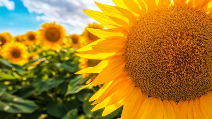 Cultura de floarea soarelui inflorita in camp