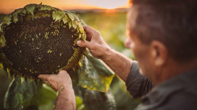 Floarea soarelui seminte fermier