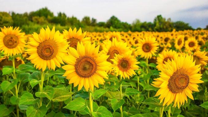 Floarea-soarelui_300 dpi_6