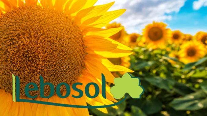 Lebosol Cultura de floarea soarelui inflorita in camp