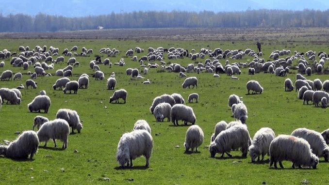 Turmă de oi la păscut