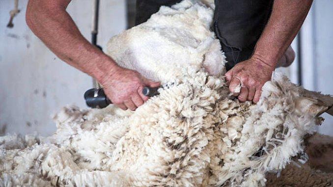 lână de oaie pentru tratamentul articulațiilor