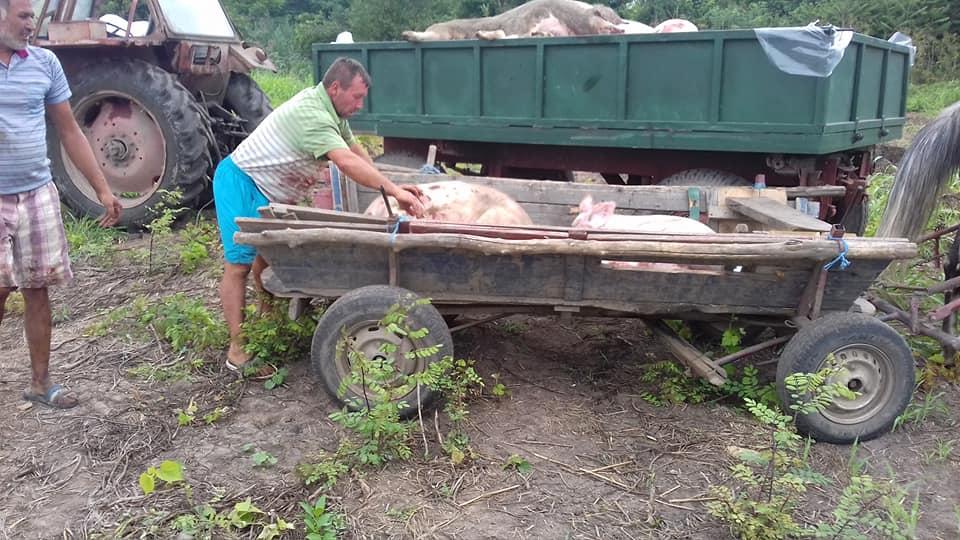 La furat de porci cu pesta 1
