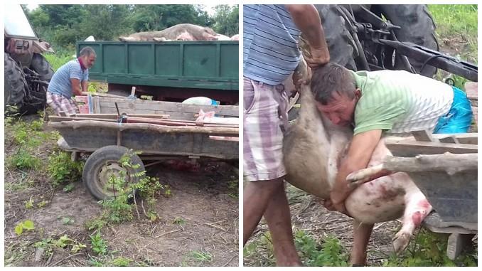Porci furati din remorca