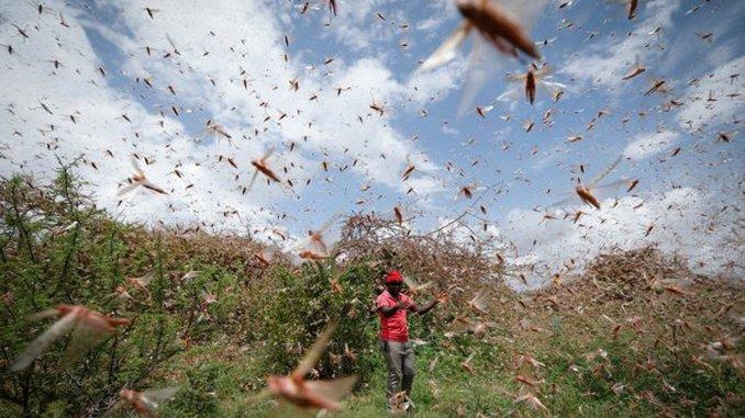 Invazie de lacuste Kenya