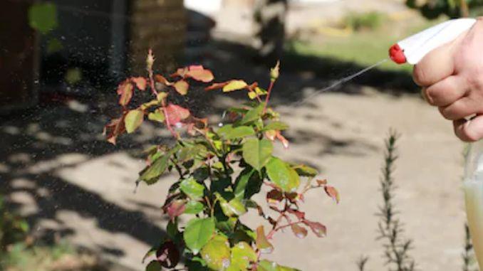 tratament cu parazit de trandafir