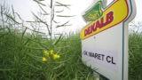 Cultivarea hibrizilor de rapiță Clearfield: când se recomandă în fermă?