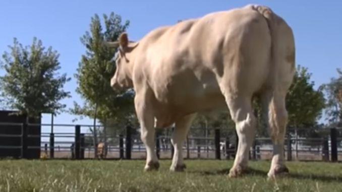 E cel mai mare taur din lume si printre primele rase descoperite vreodata!
