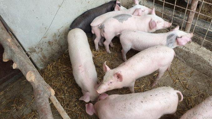 pierderea în greutate a porcului