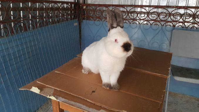 de ce un iepure pierde în greutate