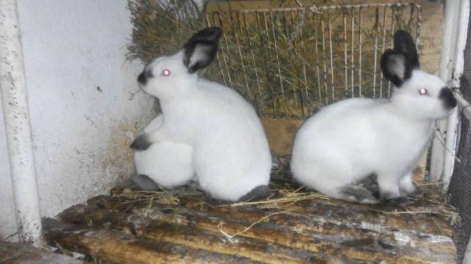 iepurii pierde în greutate subțire cu hula hoop